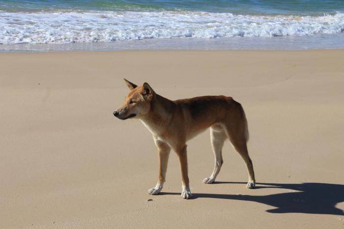 Fraser Dingo
